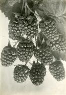 The Phenomenal Berry