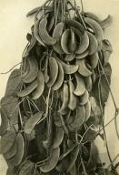 Lima Bean Bush