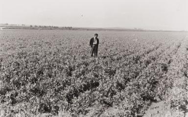 Harry Kamiya inspecting crops : Santa Maria Valley : 1940.
