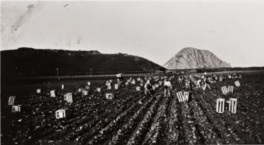 Filipino farm workers picking lettuce, Nagano Farm ; Morro Rock in background : about 1930 ; in 1931, Filipino farm workers went on strike and won a pay raise from 15 to 25 cents per hour ; during the strike, workers were brought from Mexico.
