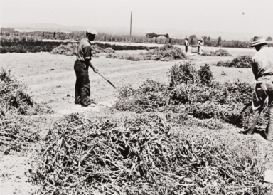 Japanese employees threshing by hand at W. Atlee Burpee Company, Floradale Farms, Lompoc : 1939.