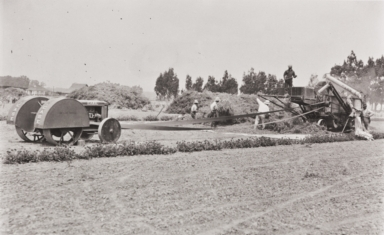 Domingo Manfrina and Japanese workers harvesting sweet pea seeds at the Burpee Seed Company, Floradale Farms, Lompoc : 1939.