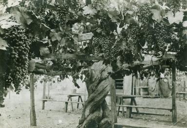 Carpinteria Grapevine, Lavina Grande