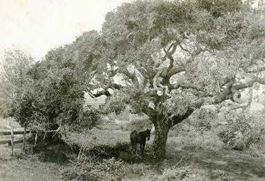 Carpinteria Oak Tree