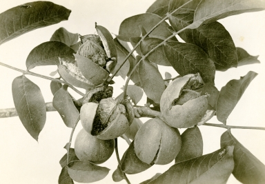 Carpinteria Walnuts