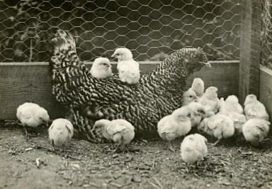 Carpinteria Chickens