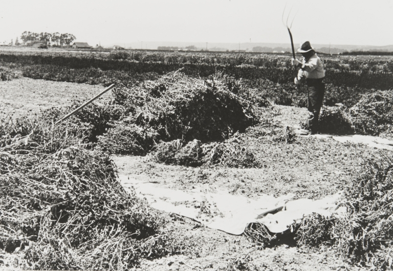 A Japanese employee threshing calendulas by hand at Burpee's Foradale Farms, Lompoc : 1939.