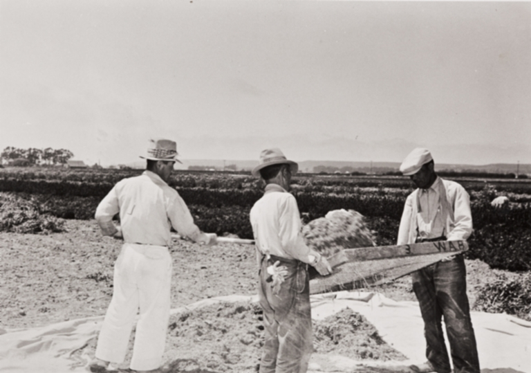 Japanese employees screening seed by hand for Burpee Seeds : Lompoc : 1939.