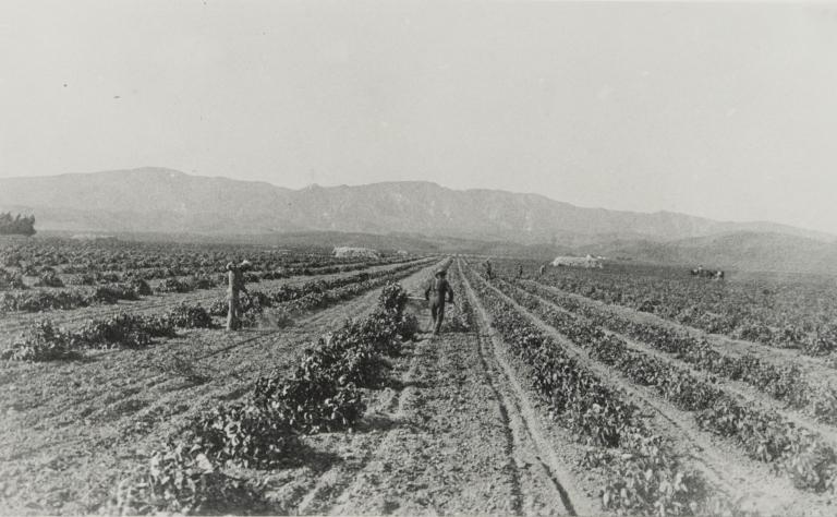 Lima bean field workers.