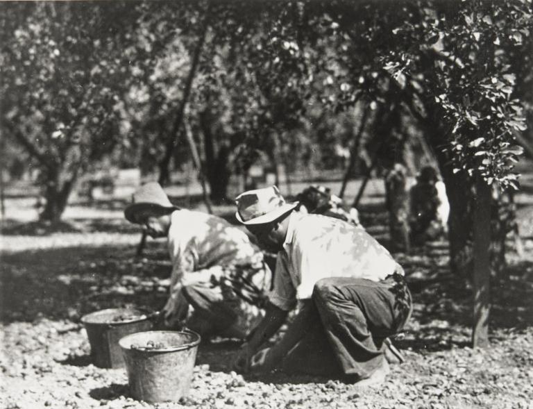 Walnut harvesting.