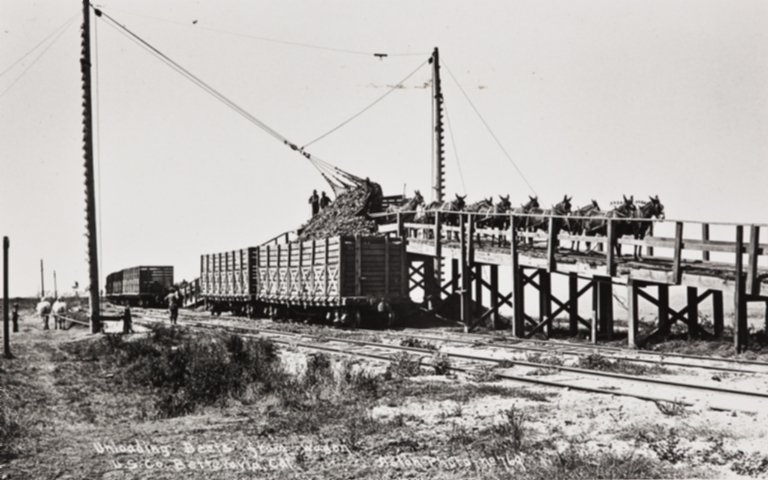 Unloading beets from wagon in Betteravia, California.