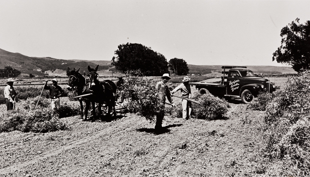 Japanese employees cutting and stacking sweet pea seeds at the Floradale Farms, grown by the Burpee Seed Company : 1939 ; mules were used in this operation until the 1950s.