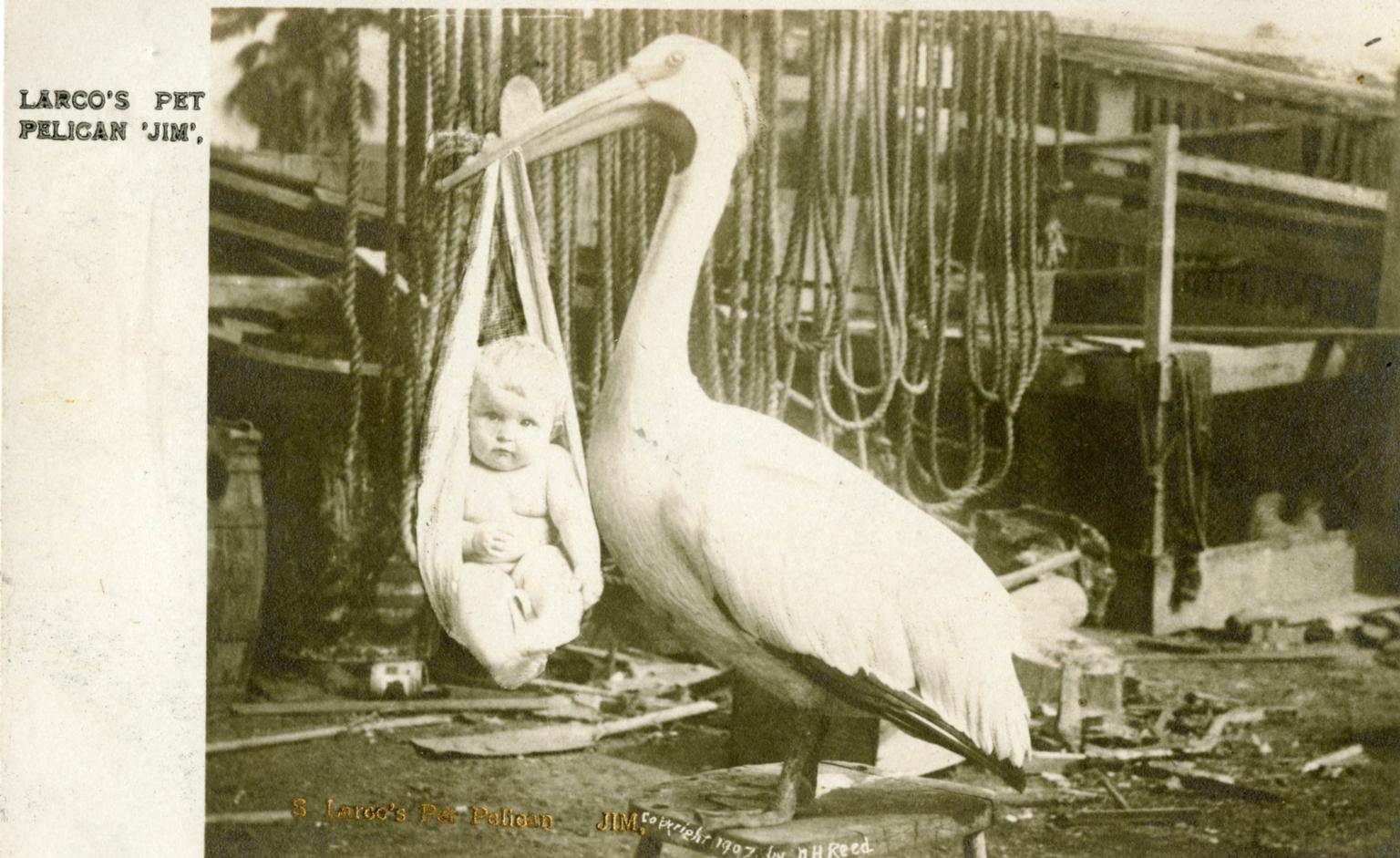 """Larco's Pet Pelican """"Jim"""""""