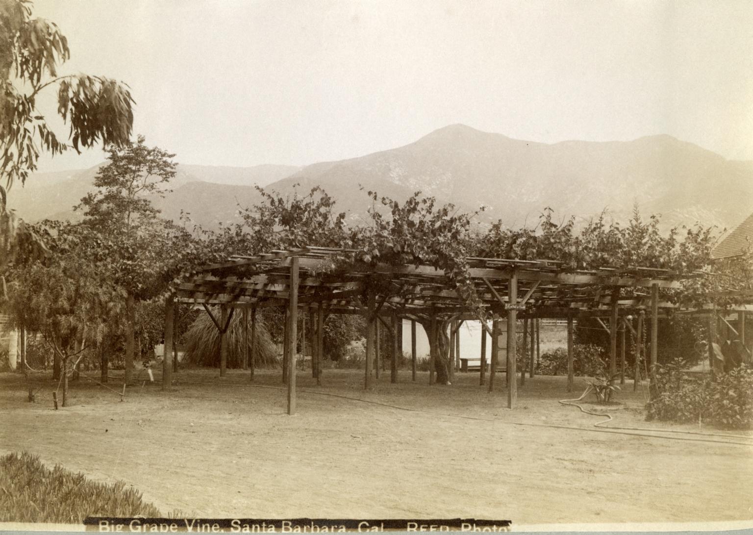 Big Grapevine Montecito