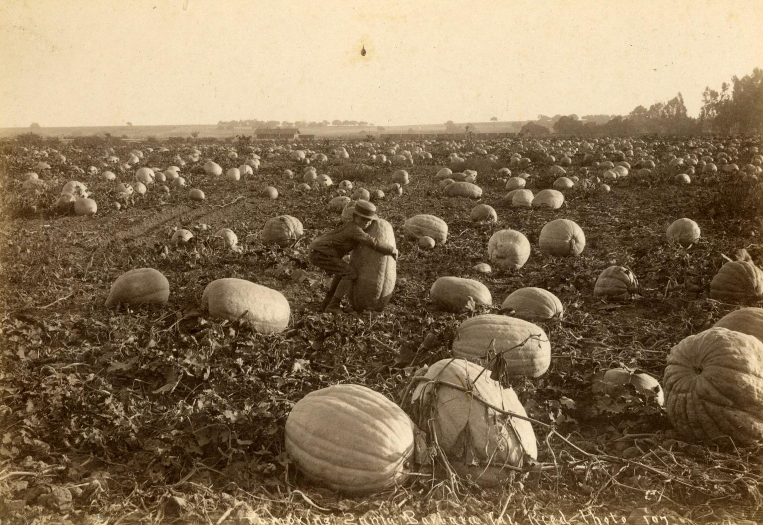 Pumpkins in Goleta