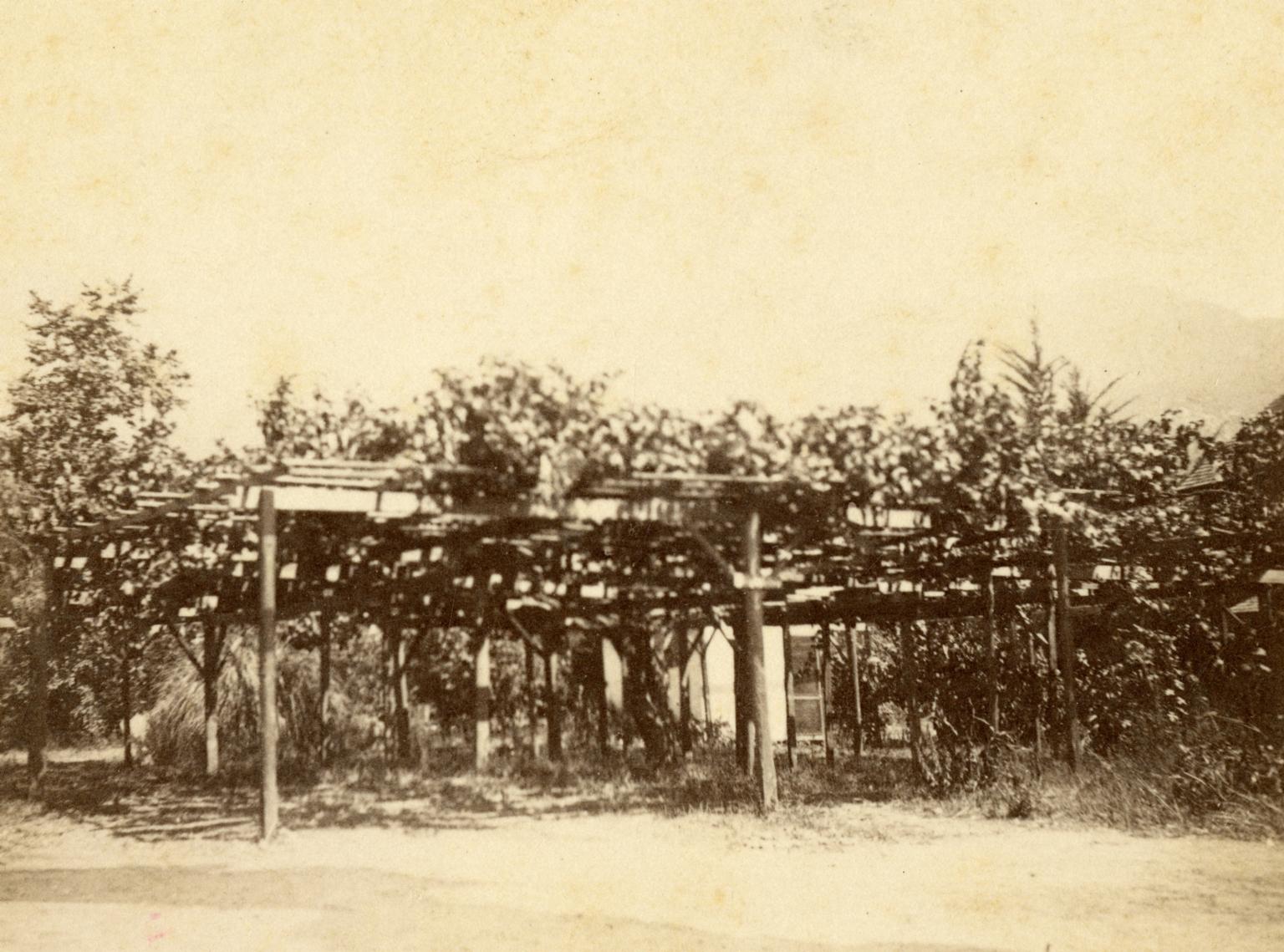 Carpinteria Grapevine